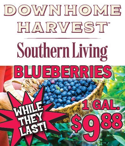Southern Living Down Home Harvest Blueberry Bushes OUR PRICE $9.88 for 1 gallon. Compare at Big Box Garden Centers for $18.40. 2 Varieties - For Heaven's Sake and Bless Your Heart. These vigorous upright rabbiteye blueberries yeild white flowers and many large berries known for their appealing color, flavor, firmness and shelf life. Bred for heavy fruit set and large, sweet berries. Attracts birds and butterflies. Disease and pest resistant, and heat tolerant.